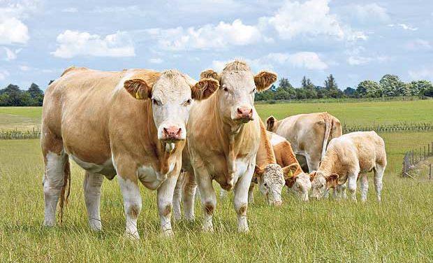 CETA : La filière bovine dénonce une «menace»