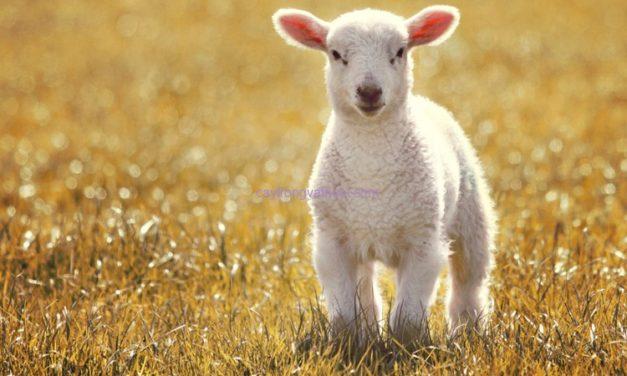 En 2017, une production ovine en recul